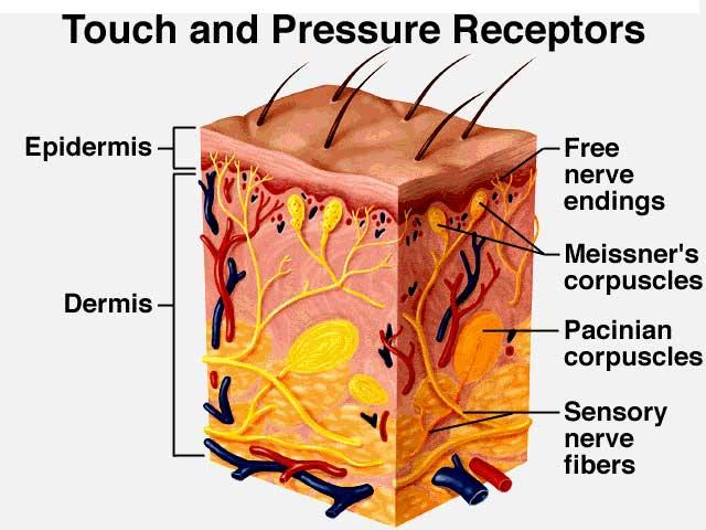 皮肤触觉和压力感受器
