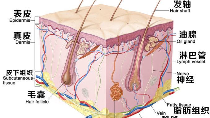 皮肤真皮层的组成结构详解